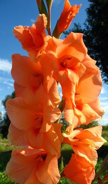 gladiolus-11